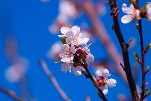 manzano floreciente foto