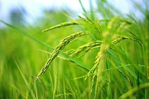 Rice field photo