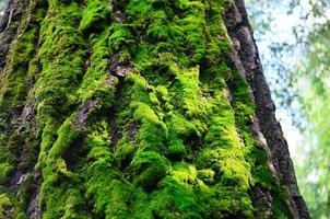el musgo en la corteza del árbol