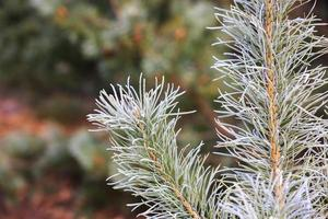 Frosted pine brunch