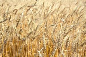 Lot ears of rye on rural field on summer day closeup photo