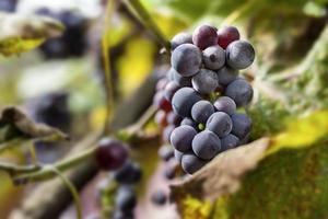 Bunches of black grapes on vine. photo