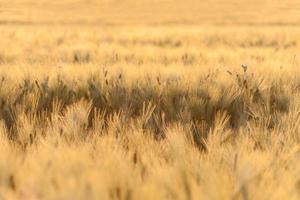 Barley field illuminated by golden light