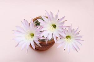 Blooming cactus Echinopsis Hybrid with three flowers, pink background