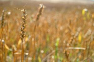 Golden Rye photo