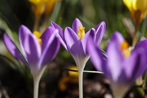 Three flowering purple crocuses