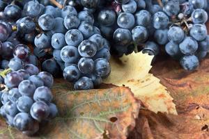 oogst van druiven voor wijnbereiding
