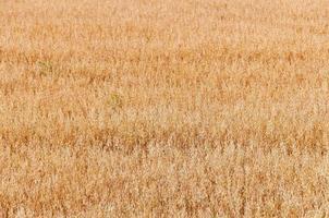 Golden ripe oats ears on farm field ready for harvesting photo
