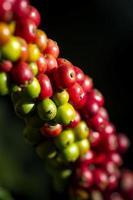 granos de café madurando en un árbol