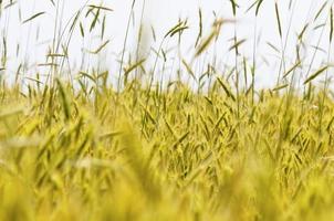 detalhe de trigo verde
