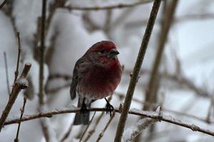 Close up of House Finch Bird Perched on Frozen Branch photo