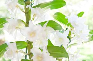 closeup of a beautiful white cattleya orchid