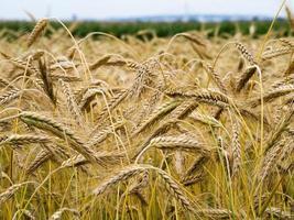 yellow ears of wheat