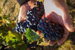 vignoble français - raisins en main