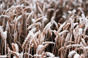 cosecha de granos