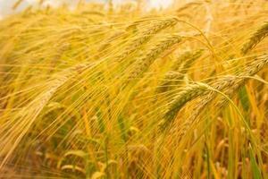 barley background photo