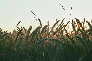 Fields of Wheat photo