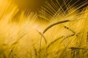 Detail of barley field photo