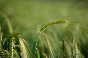 espigas de cebada / trigo