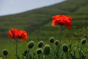Couple of poppies in the field