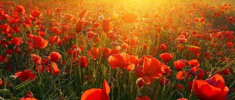 Poppies photo