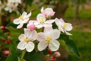 flores de maçã