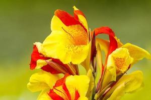 cannas lilly