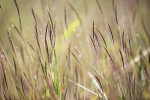 hierba de cañas