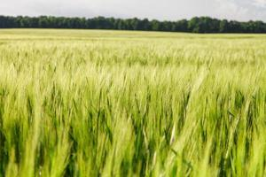 Green wheat on the field photo
