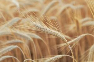 Yellow wheat field photo