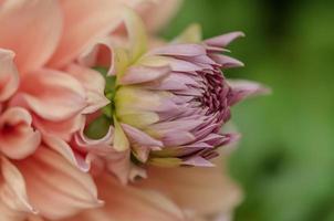 flor de dalia variabilis