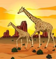 Giraffes in the savanna grassland background vector