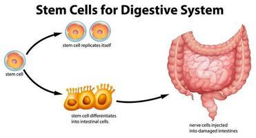 diagrama educativo de células madre para el sistema digestivo vector