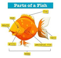 Diagram with parts of fish vector