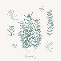 elementos de romero. hierbas de romero aisladas vector
