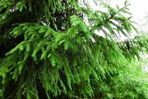 Spruce branch after rain photo