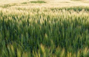 Field of barley in the warm evening sun photo