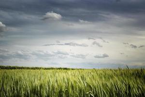 Wheat fields in Italian countryside