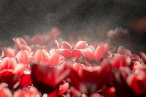 The tulip flower blooming