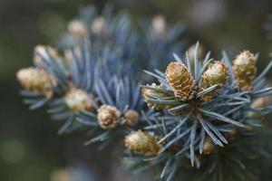 beautiful buds of coniferous trees