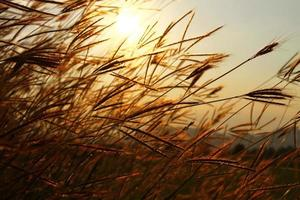 Swaying the grass with sunset sky background photo