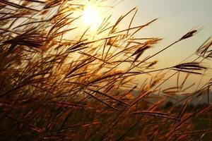 balanceando la hierba con el fondo del cielo al atardecer