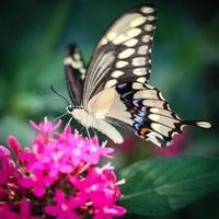 Giant Swallowtail Papilio Cresphontes