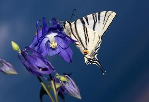 Beautiful sail swallowtail butterfly resting on a flower photo