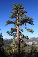 Pine tree Yosemite photo