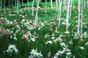 White birch and lily