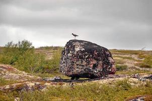 pájaro polar en una roca foto