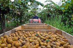 Kiwis recogiendo frutas cerca de Curicó, Chile foto