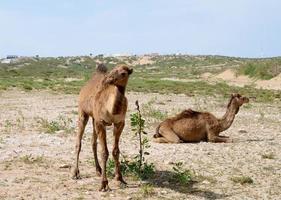 camellos en marruecos foto
