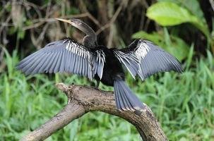 Anhinga bird, Tortuguero - Costa Rica